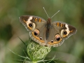Gallery-Butterflies-006