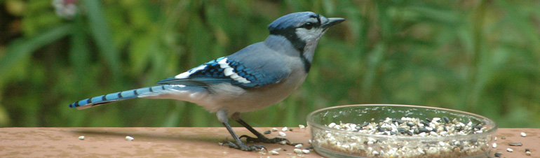 A bluebird at a feeding dish