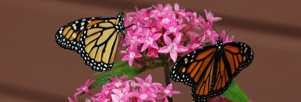 Orange butterflies on pink flowers