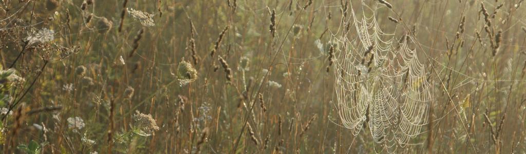 Spider webs among reeds